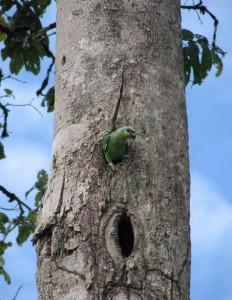 Kulekule bij nest, vlakbij Berg en Dal, 2008 Oranjevleugel-amazone, Amazone Amazonica foto K.D. Dijkstra, Vogels in Suriname - Jan Hein Ribot