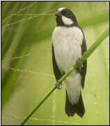 Mustas, twee soorten: kroonmustas of witsterdikbekje (Sporophila lineola), met witte plek op het voorhoofd, en plenmustas (foto van mannetje kroonmustas door Foek Chin Joe op website JH Ribot)